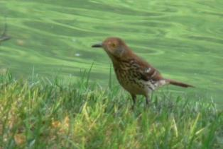 Brown Thrasher - Robbins AFB, GA