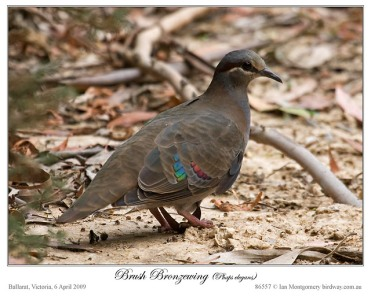 Brush Bronzewing by Birdway