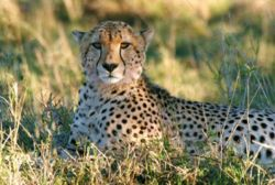 Cheetah Respiratory System