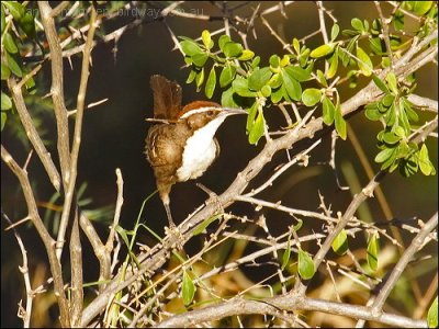 Chestnut-crowned Babbler by Birdway