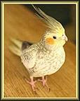 Cockatiel (Nymphicus hollandicus) by sm