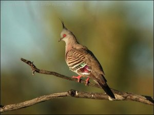 Crested Pigeon by Ian