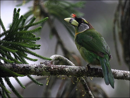 Fire-tufted Barbet by Birdway