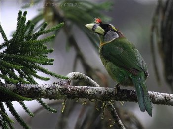 Fire-tufted Barbet by Ian