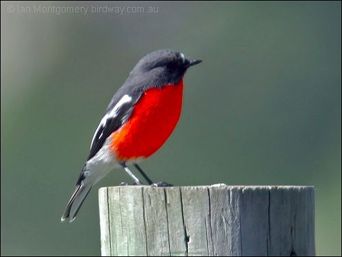ian s bird of the week red capped robin lee s birdwatching