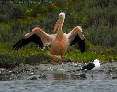 Great White Pelican by Birdway