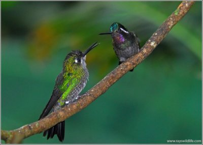 Green-crowned Brilliant and Purple-throated Mountain-Gem by Ray