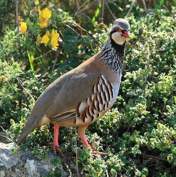 Red-legged Partridge (Alectoris rufa) ©WikiC