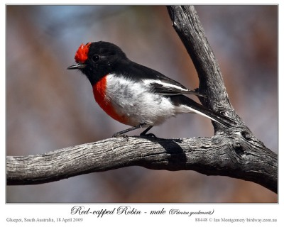 Red-capped Robin by Ian