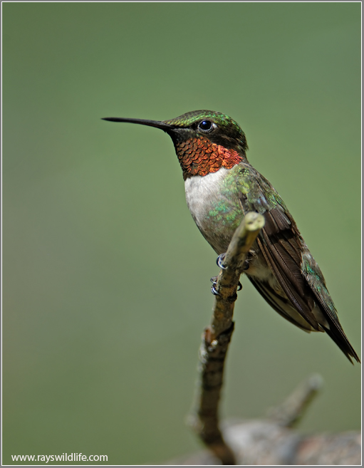 Ruby-throated Hummingbird by Ray's Wildlife