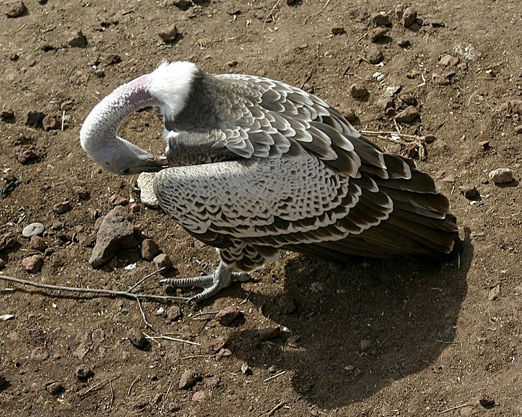 Ruppell's Vulture