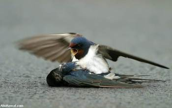 Swallow hit and it's mate