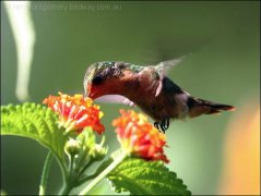 Tufted Coquette by Birdway