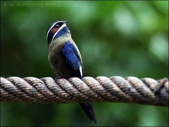 Whiskered Treeswift (Hemiprocne comata) by Ian