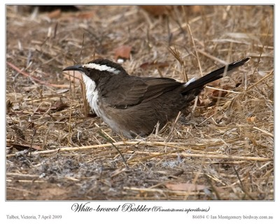 White-Browed Babbler by Birdway