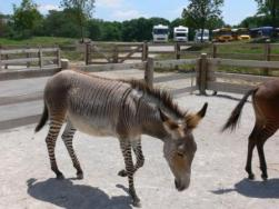 Zonkey at Creation Museum