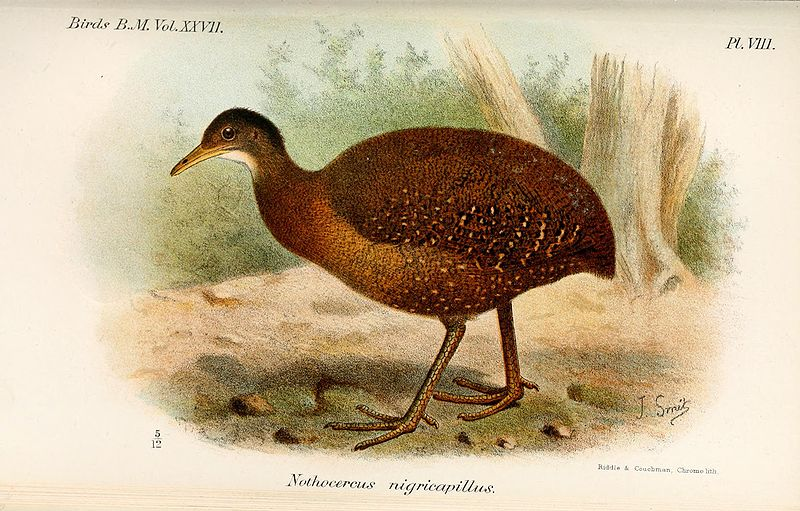 Hooded Tinamou (Nothocercus nigrocapillus) Drawing WikiC