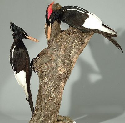 Imperial Woodpecker (Campephilus imperialis) M & F Specimen WikiC