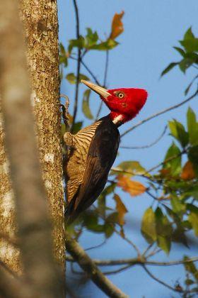 Pale-billed Woodpecker (Campephilus guatemalensis) WikiC