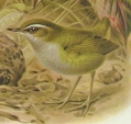 Bushwren (Xenicus longipes) Drawing ©WikiC
