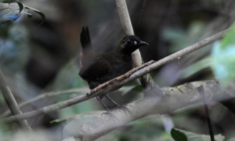 Black-faced Antthrush (Formicarius analis) ©WikiC