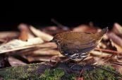 Striated Antthrush (Chamaeza nobilis) ©WikiC