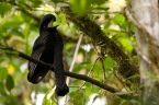 Long-wattled Umbrellabird (Cephalopterus penduliger) ©©Mindoconexion