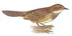 Noisy Scrubbird (Atrichornis clamosus) ©WikiC