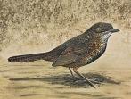 Rufous Scrubbird (Atrichornis rufescens) ©WikiC