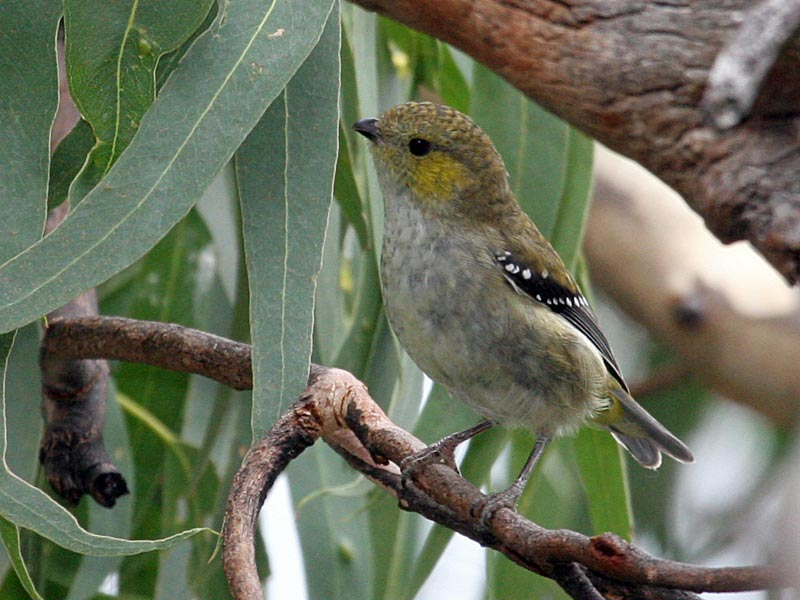 Forty-spotted Pardalote (Pardalotus quadragintus) ©WikiC