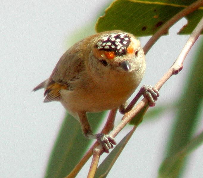 Red-browed Pardalote (Pardalotus rubricatus) ©WikiC