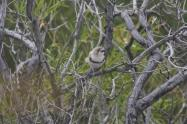 Banded Whiteface (Aphelocephala nigricincta) IBC Edward Smith
