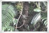 Grey-green Scrubwren (Aethomyias arfakianus) ccRoss@Texas