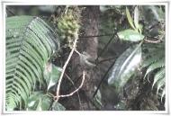 Grey-green Scrubwren (Sericornis arfakianus) ccRoss@Texas