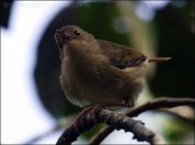 Large-billed Scrubwren (Sericornis magnirostra) by Ian