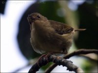 Large-billed Scrubwren (Sericornis magnirostra) by Ian