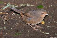 Pilotbird (Pycnoptilus floccosus) by AGrosset