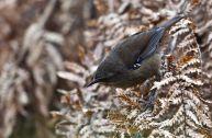 Tasmanian Scrubwren (Sericornis humilis) ©©WikiC