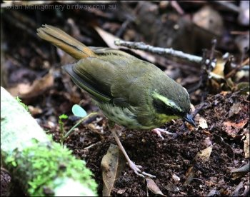 Yellow-throated Scrubwren (Sericornis citreogularis) by Ian