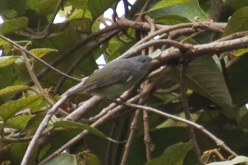 Obscure Berrypecker (Melanocharis arfakiana) CC maholyoak