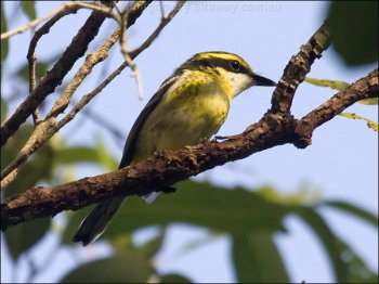 Yellow-breasted Boatbill (Machaerirhynchus flaviventer) by Ian
