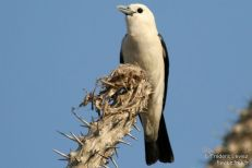 White-headed Vanga (Artamella viridis) ©WikiC