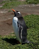 Gentoo Penguin (Pygoscelis papua) by Ian