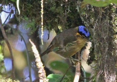 Blue-capped Ifrita (Ifrita kowaldi) cc jerryoldenettle