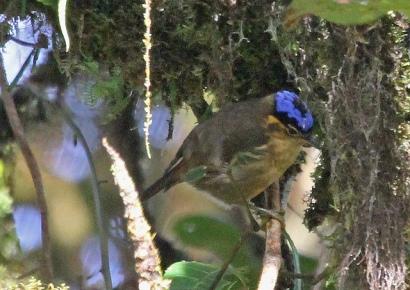 Blue-capped Ifrita (Ifrita kowaldi) cc jerryoldenettle