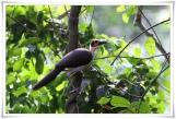 White-necked Rockfowl (Picathartes gymnocephalus) cc Ross@Texas