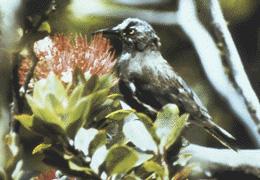 Kauai Oo (Moho braccatus) ©WikiC