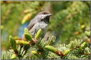Boreal Chickadee (Poecile hudsonicus) by Daves BirdingPix