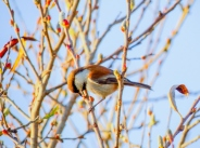 Chestnut-backed Chickadee (Poecile rufescens) by Beedie Savage