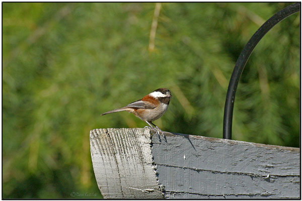 Chestnut-backed Chickadee (Poecile rufescens) by Daves BirdingPix
